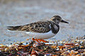 Ruddy Turnstone (Arenaria interpres) (16148762047).jpg