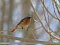 Rufous-backed Redstart (Phoenicurus erythronotus) (24213660572).jpg