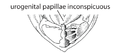 S2. Urogenital papilla bud inconspicuous (G05b).png