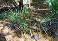 Sabal uresana - Zilker Botanical Garden - Austin, Texas - DSC08961.jpg