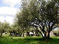 Saint-Hilaire-d'Ozilhan Oliveraie.JPG