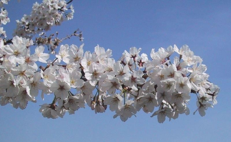 SakuraBlossomsCloseUp