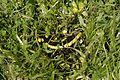 Salamander 01.JPG