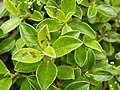 Salix arbuscula Leaf upper surface.JPG