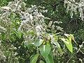Salix tetrasperma - Indian Willow at Bavali (1).jpg