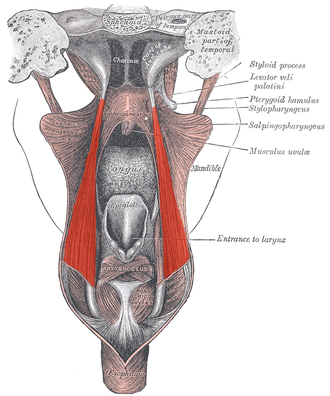 Salpingopharyngeus muscle - Dissection of the muscles of the palate from behind.