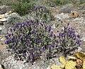 Salvia dorrii var dorrii 1.jpg
