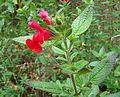 Salvia microphylla, the Cherry Sage (10195248243).jpg