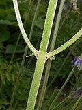 Salvia nutans 2016-05-31 2033.jpg