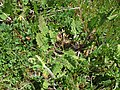 Salvia verbenaca leaf4 ST (16123088762).jpg
