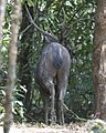 Sambar Deer (Cervus unicolor) - Flickr - Lip Kee (1).jpg