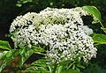 Sambucus canadensis flower UMFS.jpg