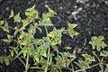 San Bartolomé - LZ30 - El Grifo - Euphorbia segetalis 04 ies.jpg