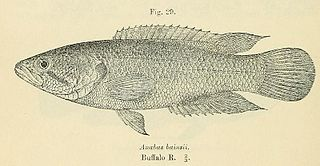 Eastern Province rocky Species of fish