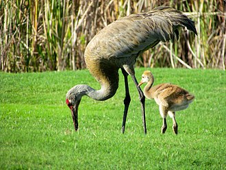 Sandhill crane - Adult and chick