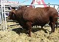 Santa Gertrudis bull.JPG