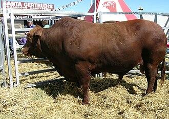 Santa Gertrudis cattle - Santa Gertrudis bull