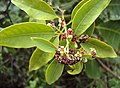 Santalum album leaves and flowers 07.JPG