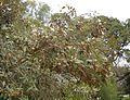 Sarcolaena oblongifolia 3.JPG
