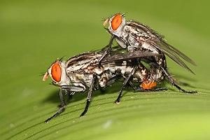 Sarcophaga ruficornis fleshfly mating.jpg