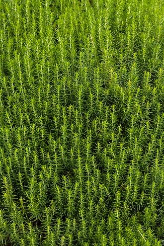 Satureja - Satureja subspicata