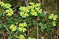 Saxifrage, Crawfordsburn - geograph.org.uk - 767779.jpg