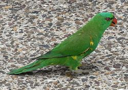 Scaly-breasted Lorikeet, Canungra, Queensland.jpg