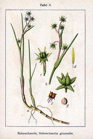 Scheuchzeria - Image: Scheuchzeria palustris Sturm 3