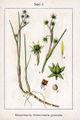 Scheuchzeria palustris Sturm3.jpg