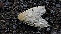 Schwammspinner Lymantria dispar 0945.jpg