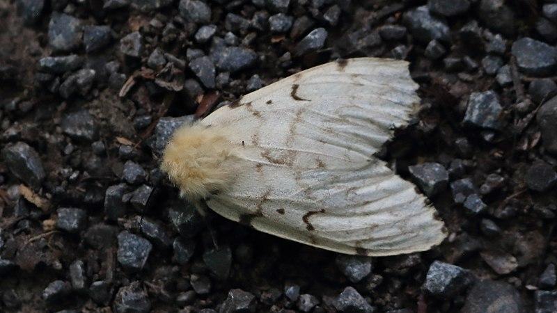 File:Schwammspinner Lymantria dispar 0945.jpg
