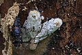 Schwammspinner Lymantria dispar mit Puppe 0965.jpg