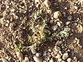 Scleranthus annuus (s. str.) sl38.jpg
