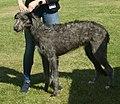 Scottish Deerhound grey 2.jpg