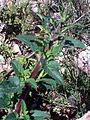 Scrophularia auriculata TalloyHojas 2010-4-02 SierraMadrona.jpg