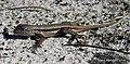 Scrub Lizard, (Sceloporus woodi).jpg