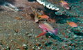 Sea Goldies (Pseudanthias squamipinnis) (8503814752).jpg