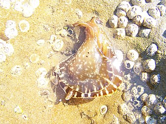 Clifton Oyster Rocks - Image: Sea Life at Oyster Rocks