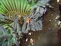 Sea anemone in tide pools.JPG