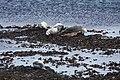 Seals on the rocks - geograph.org.uk - 1300535.jpg