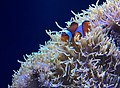 Seattle Aquarium 20161219 Clownfish 03.jpg