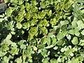 Sedum ternatum Larinem Park 0zz.jpg