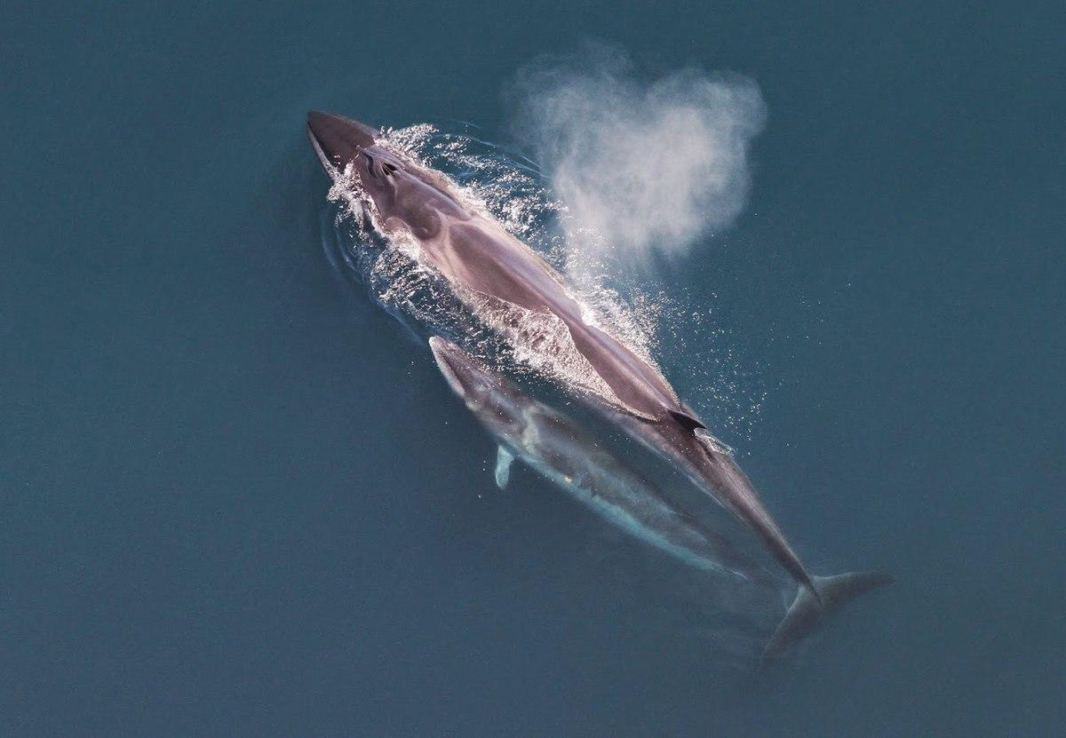 Sei whale - Wikipedia