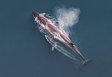 Sei whale mother and calf Christin Khan NOAA.jpg