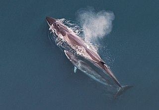 Sei whale Large species of baleen whale