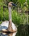 Seney National Wildlife Refuge - Wildlife (9701953985).jpg
