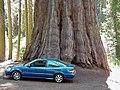 Sequoia and a car.jpg