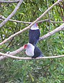 Seychelles Blue Pigeon.jpg