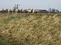 Sheep - geograph.org.uk - 343274.jpg