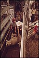 Sheep Being Herded Toward Loading Pens on a Ranch in the Leakey Texas, Area near San Antonio 05-1973 (3703575623).jpg